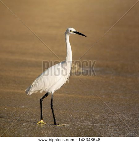 A Little Egret standing on a beach in Southern Africa