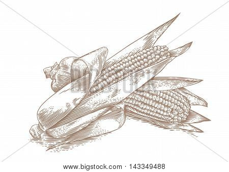 Drawing of two fresh corn cobs with leaves on the white background