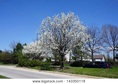 A Callery pear tree (Pyrus calleryana), also called the Bradford flowering pear, blooming in the Wesmere Country Club subdivision of Joliet, Illinois during April.
