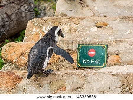 An African Penguin climbing stairs by a No Entry sign in Southern Africa