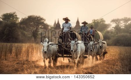 Burmese rural man driving wooden cart with hay on dusty road drawn by two white buffaloes. Rural landscape and traditional village life in Burma countryside