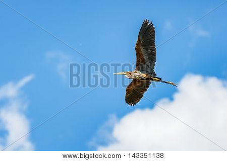 Photo of a flying beautiful purple heron