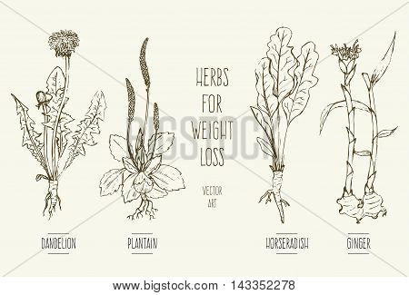 Hand-drawn vector illustration of herbs for weight loss: dandelion, horseradish, ginger, plantain.