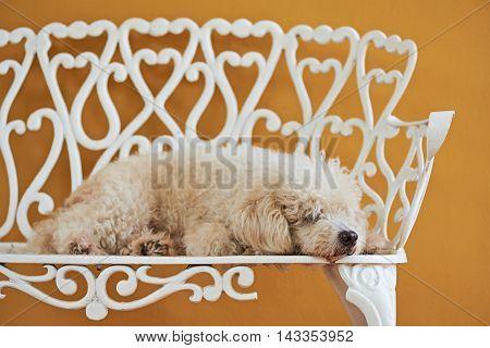 White Poodle Sleep On Bench