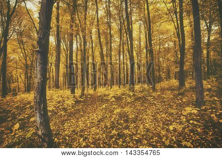 The beautiful morning in the misty autumn forest with sun rays