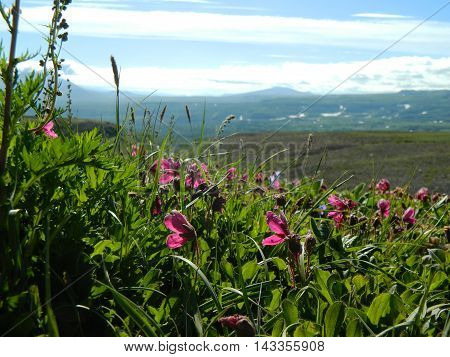 Summer meadow with pink flowers in sunny weather on Kamchatka