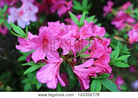 the Beautiful pink rhododendron flowers at spring