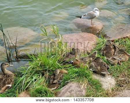 Rest of ducks on the shore of the Baltic Sea under the protection of seagulls