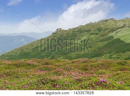 Mountain landscape with with glade of rhododendrons in the foreground against the background of a mountain range with rocky ledges