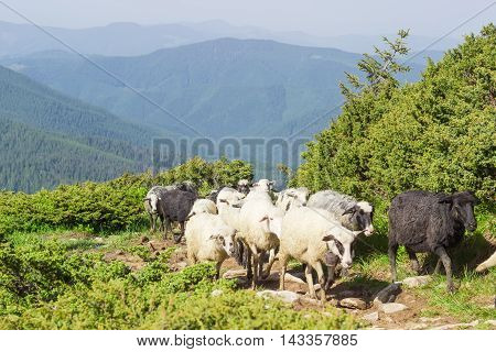 Several sheep from flock of sheep on the trail on the hillside against the mountain ridges