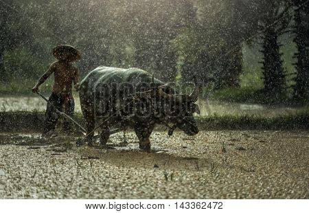 Farmer in The Rain; Farmers grow rice in the rainy season. They were soaked with water and mud to be prepared for planting. wait three months to harvest crops