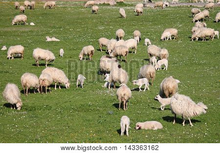 Flock of sheep grazing in a meadow