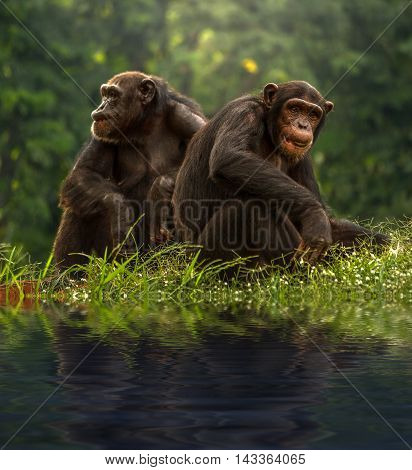 Couple chimpanzee sitting and relax in the nature