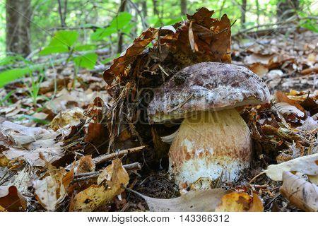 Fresh Pine bolete hidden under the leaves in natural habitat