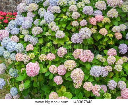 full frame colorful hortensia detail seen in Brittany France