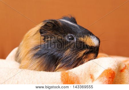 portrait of a cute black and brown guinea pig laying on the orange and white blanket