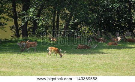 herd of fallow deer lying and pasturing on the edge of forest