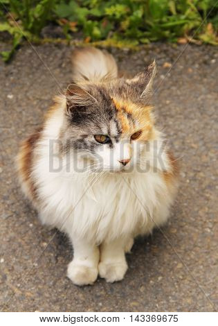cute fluffy tricolor cat sitting on the road outdoors