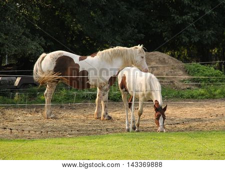 brown and white foal with its mother in the enclosure outdoors