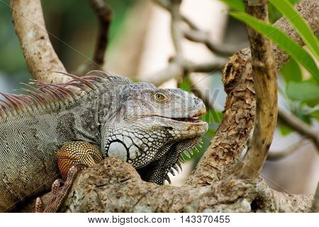 iguana lizard climbing a tree in the wild