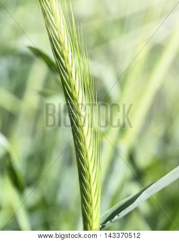 Green rye field or wheat field in the sun. Corn crop with selective focus and copy space.