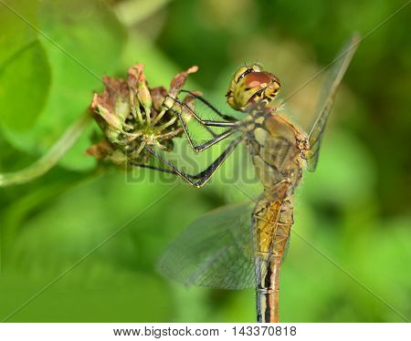 Macro beautiful dragonfly sits on a flower and regales