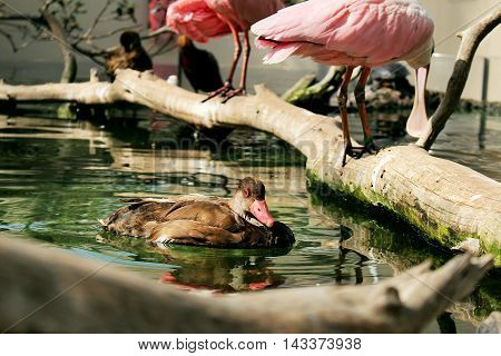 Lake with a duck swimming and two roseate spoonbill