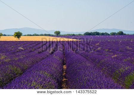 Stuning purple lavanda fields - Provence, France