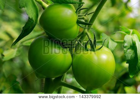 Close up of three green tomatoes on vine in greenhouse.