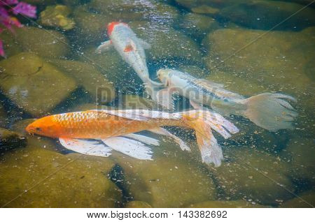 Carp koi fish under the water in the wild river