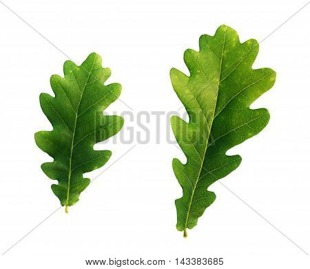 Oak tree leaves isoalted on a white background