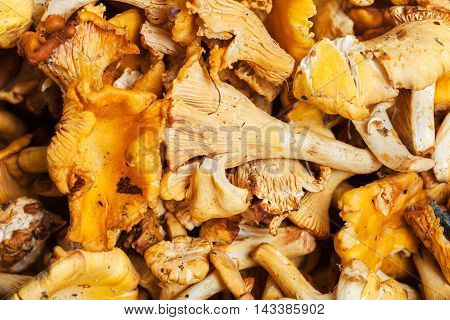 Lot Of Fresh Cut Chanterelle Mushrooms