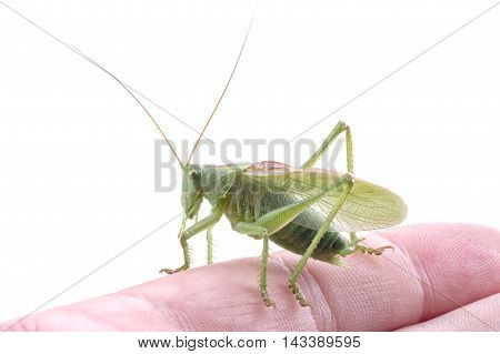 Green grasshopper on hand isolated on a white background
