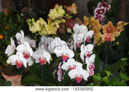 Colorful phalaenopsis orchids in a flower shop