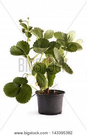 Strawberry seedlings in a pot on a white background