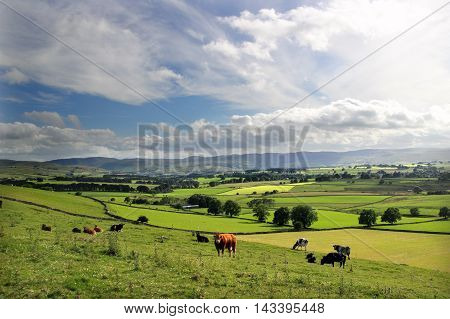Cows in a typical northern English Field