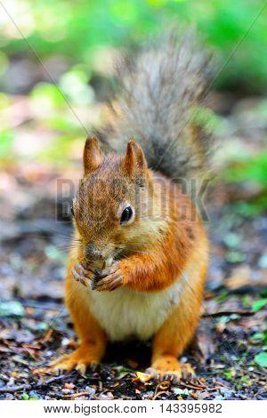 Cute squirrel eating a nut in Seurasaari Helsinki Finland.