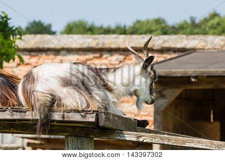 Goat On A Estate Farm At Castle Schloss Hof, Austria