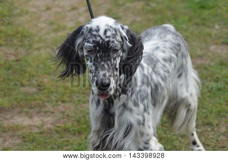 Black and white English setter dog with a sweet expression.
