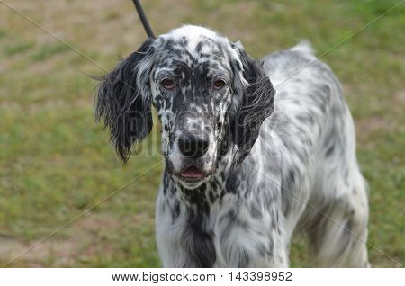 Really cute black and white English setter dog on a leash.