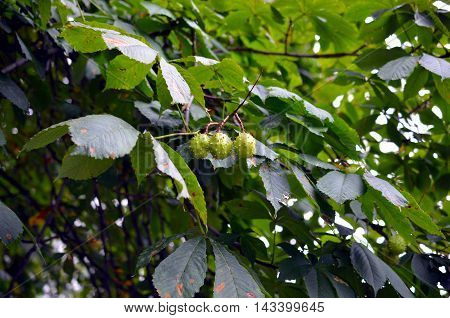 young green chestnuts hanging on a tree