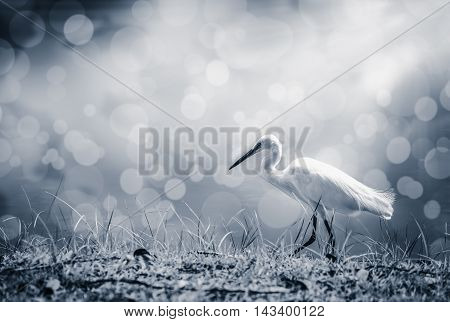 Animals in wildlife. Side view of white egret walking with sunlight on blurred abstract colorful bokeh background long neck bird. Outdoors. Black and white picture style.