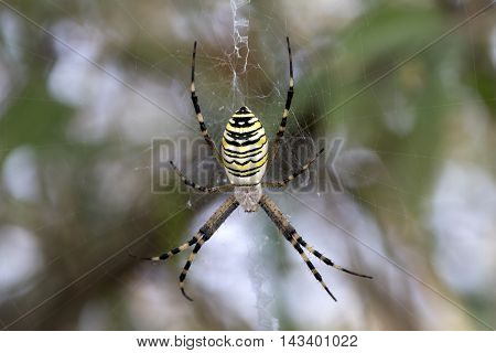 Spider on spiderweb. Argiope bruennichi or wasp spider.
