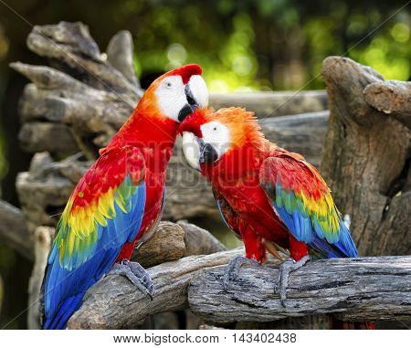 Beautiful parrots macaws perched on a tree