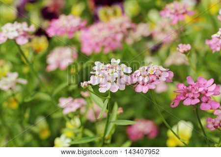 Blossoming colorful flowers in summer  ( close up )
