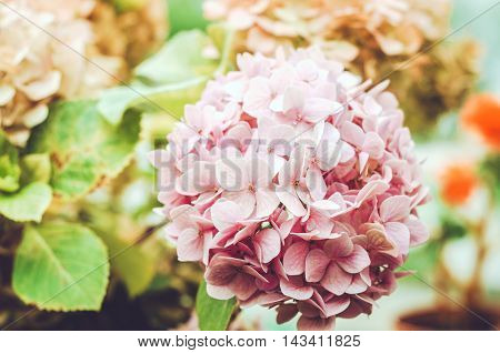 Close up beauty pink hydrangea flower in a garden. Natural green background. Love floral concept. Pastel tenderness flowers wallpaper. Card text place copy space.