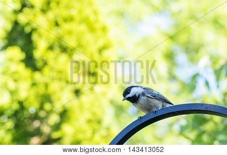 Cute little chickadee looking at the photographer.