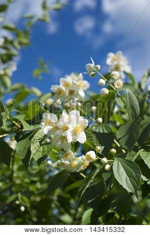 wild Jasmine bush flowers blooming by summer