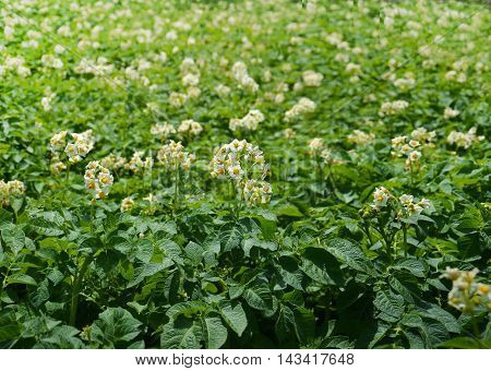 Potato bush blooming with white flowers for your design