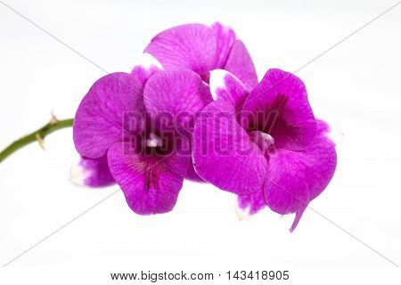 orchid isolated on white background.pink orchid flowers isolated.